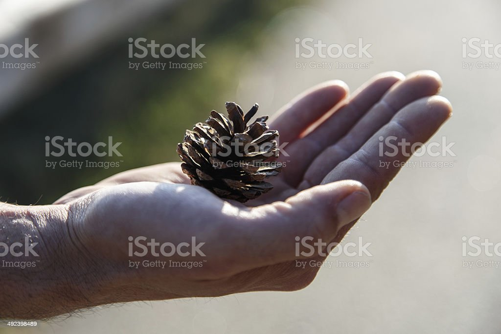 pine fruit in hand stock photo