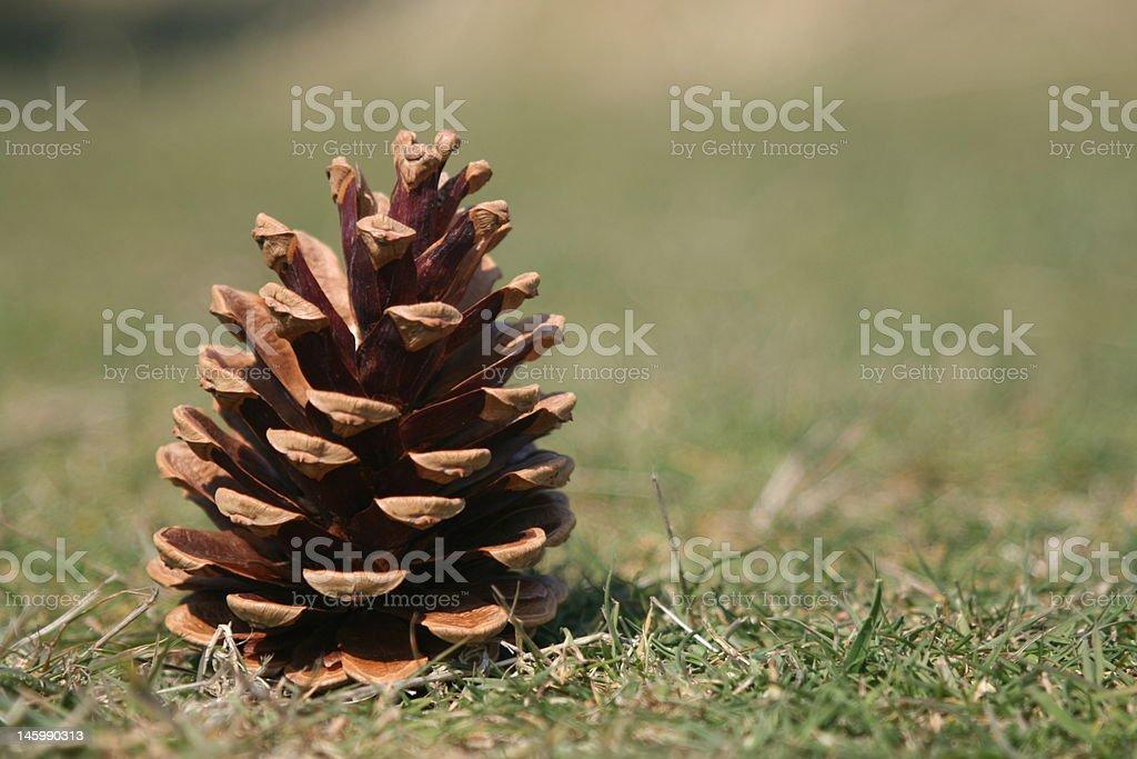 Pine fruit stock photo