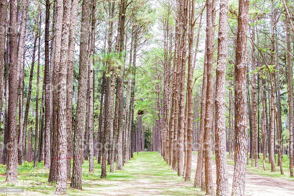 Pine Garden at Chiang Mai Thailand stock photo