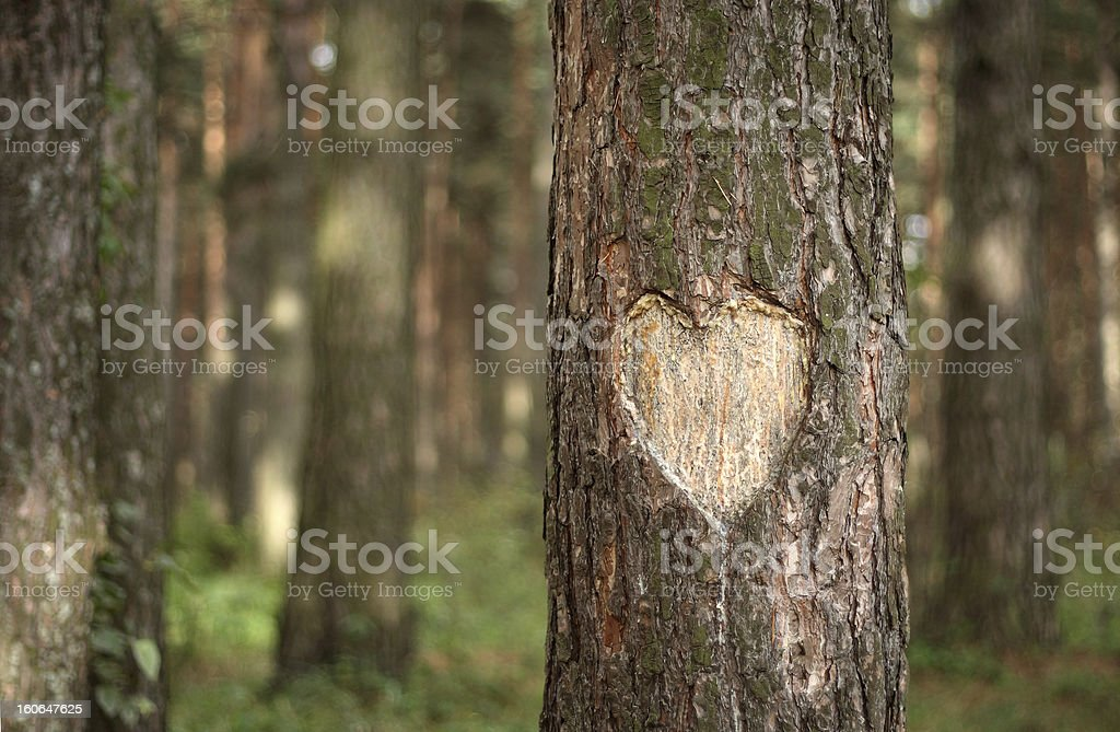 Pine Heart stock photo