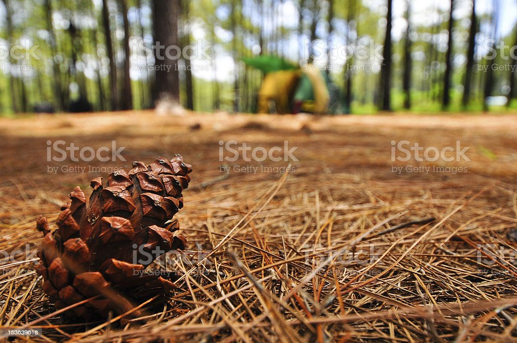 pine in forest royalty-free stock photo
