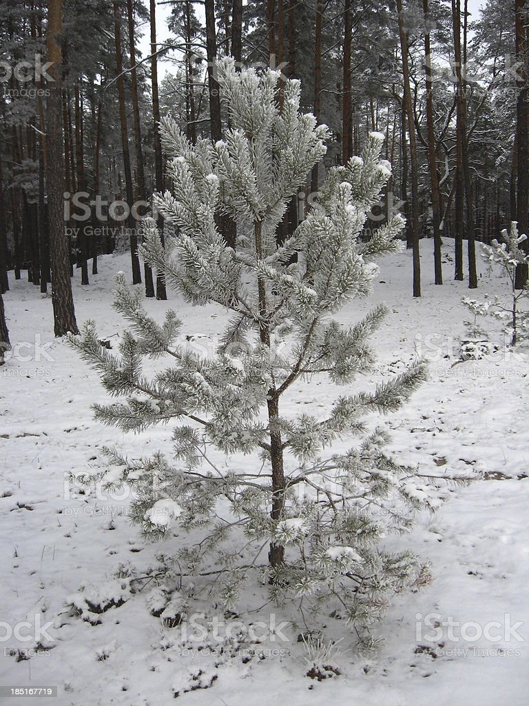 pine in hoar-frost by the winter forest royalty-free stock photo