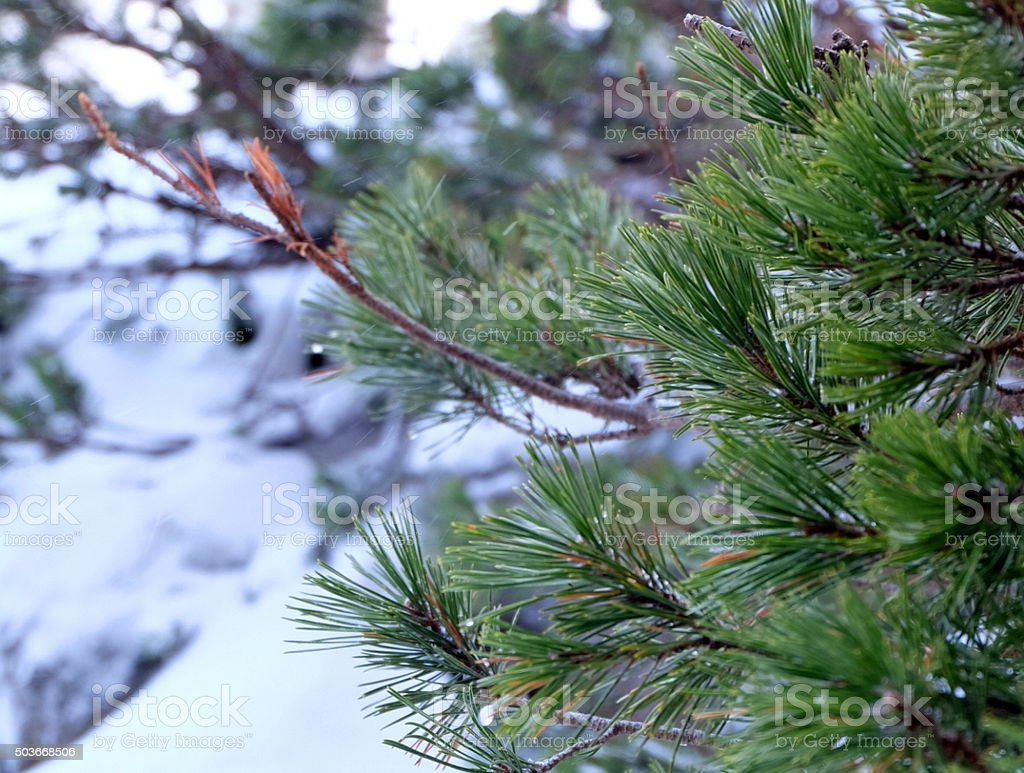 pine in land of snow stock photo