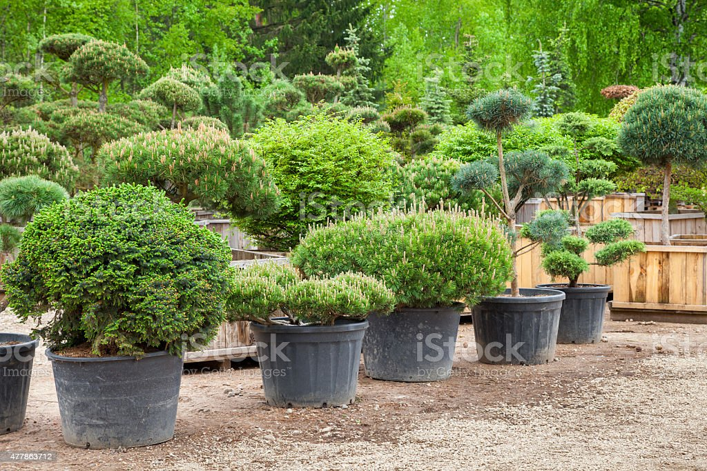 Pine in pots and bonsai  plants on tree farm stock photo