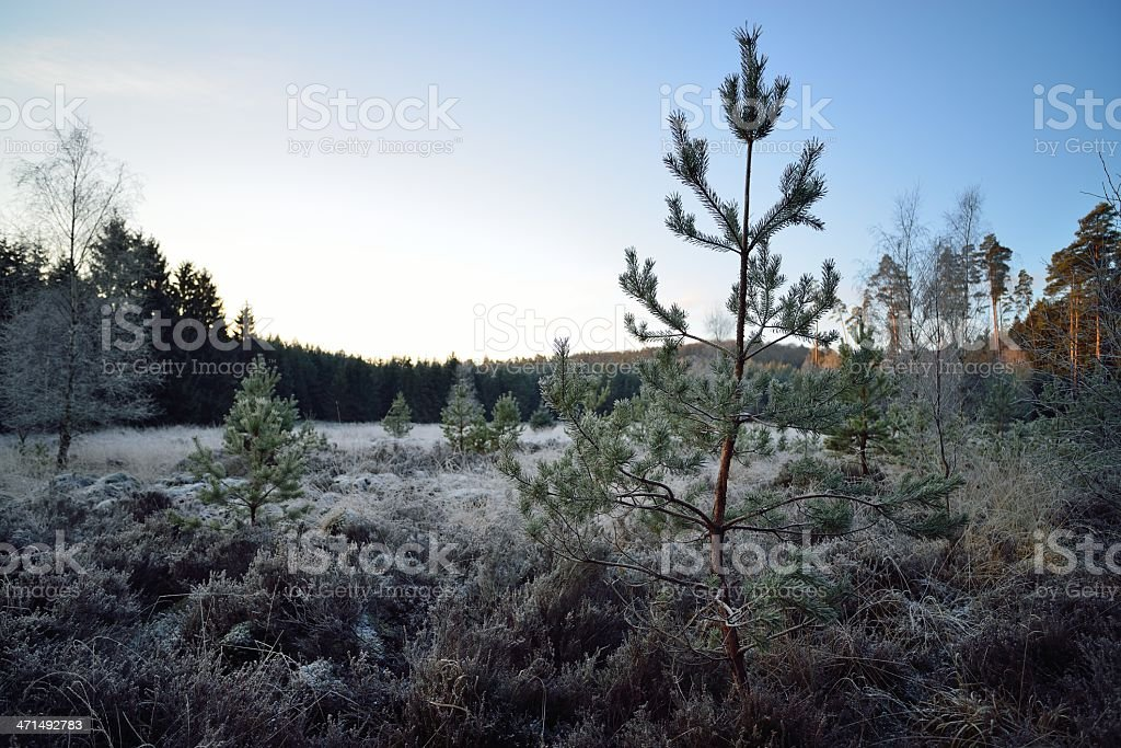 pine in wetland covered with rime royalty-free stock photo