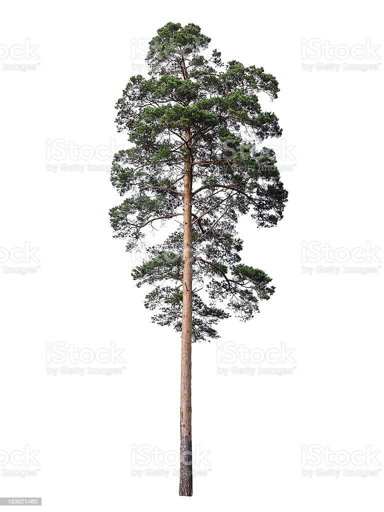 Pine isolated on white stock photo