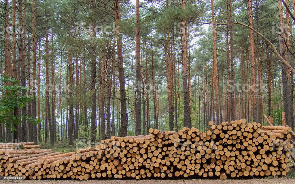 Pine logs lying in the forest. stock photo