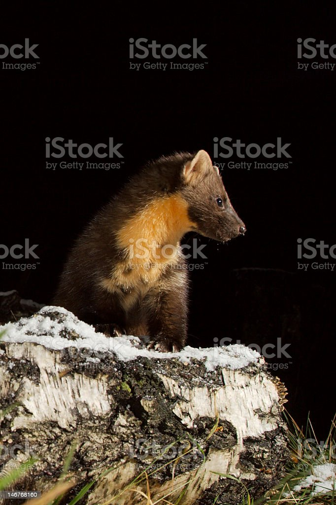 Pine Marten on a frosty log stock photo