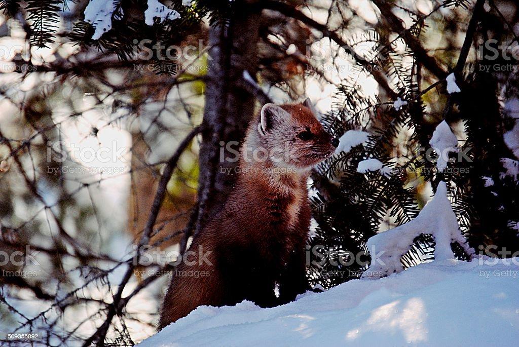 Pine Marten standing on snow stock photo