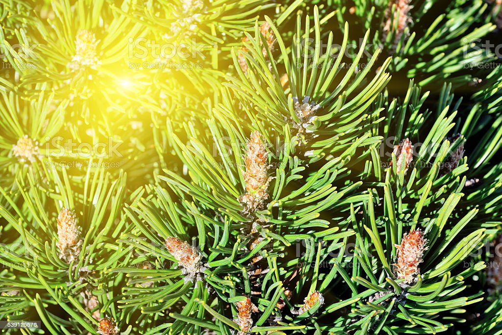 Pine mountain. Needles and buds in the sun stock photo