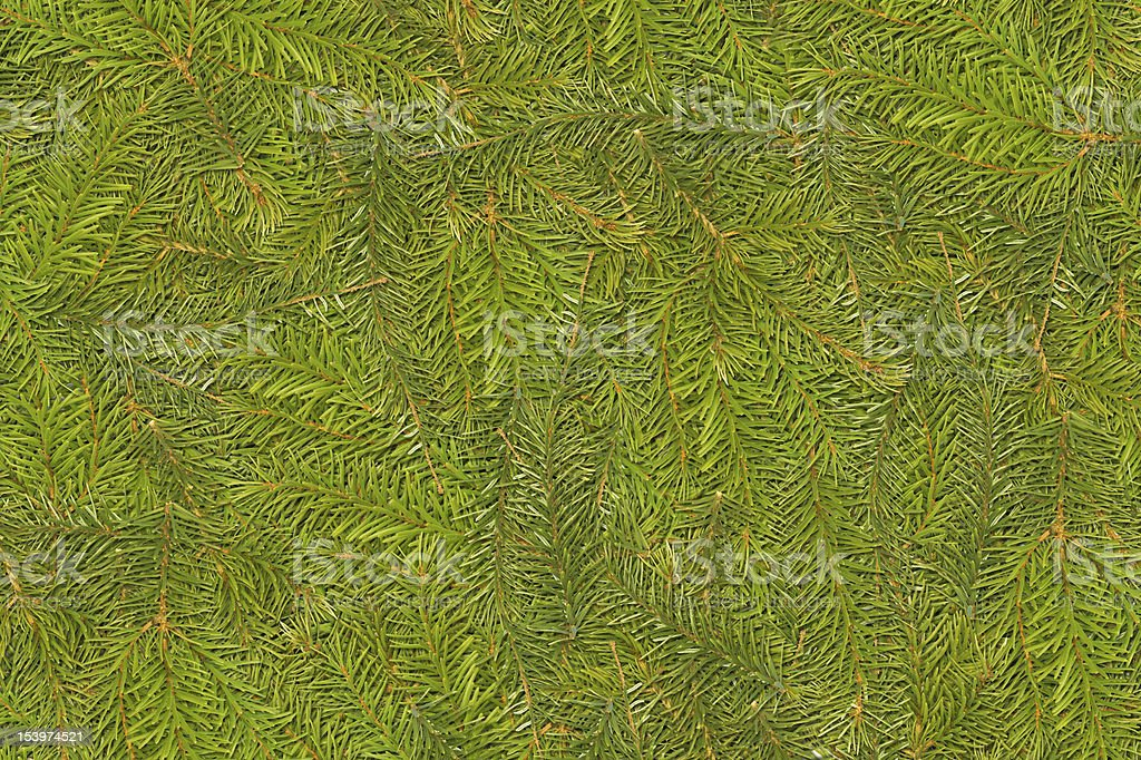 Pine needle branch backround royalty-free stock photo