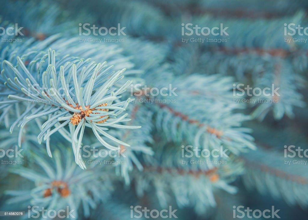 Pine Needle Branches stock photo