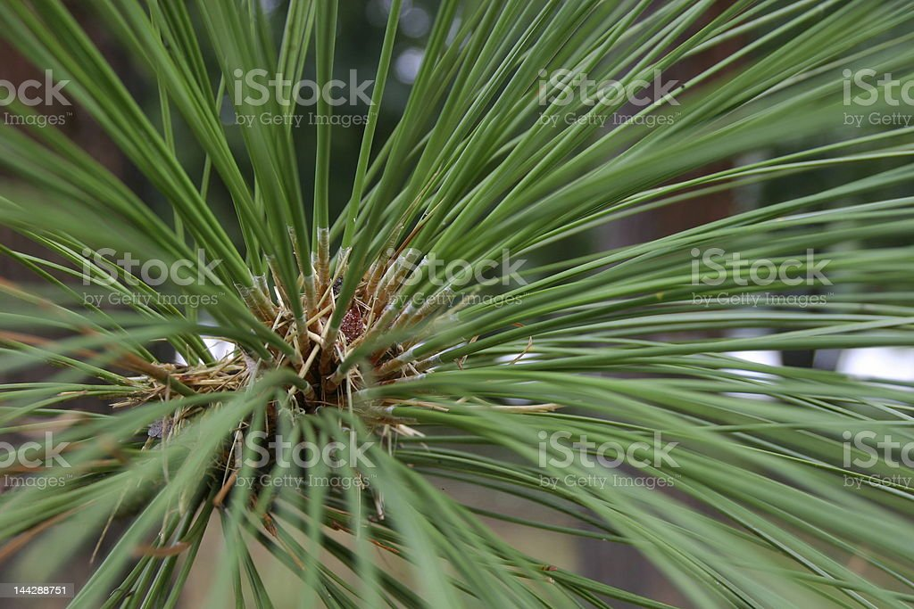 Pine Needle Cluster A royalty-free stock photo
