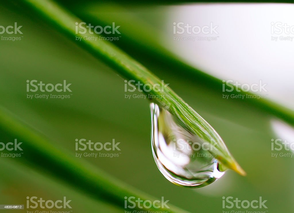 Pine needle with drop after summer rain stock photo