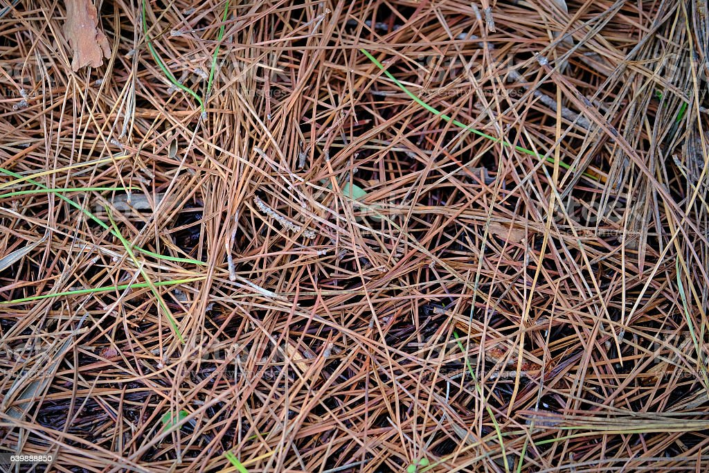 Pine needles background stock photo