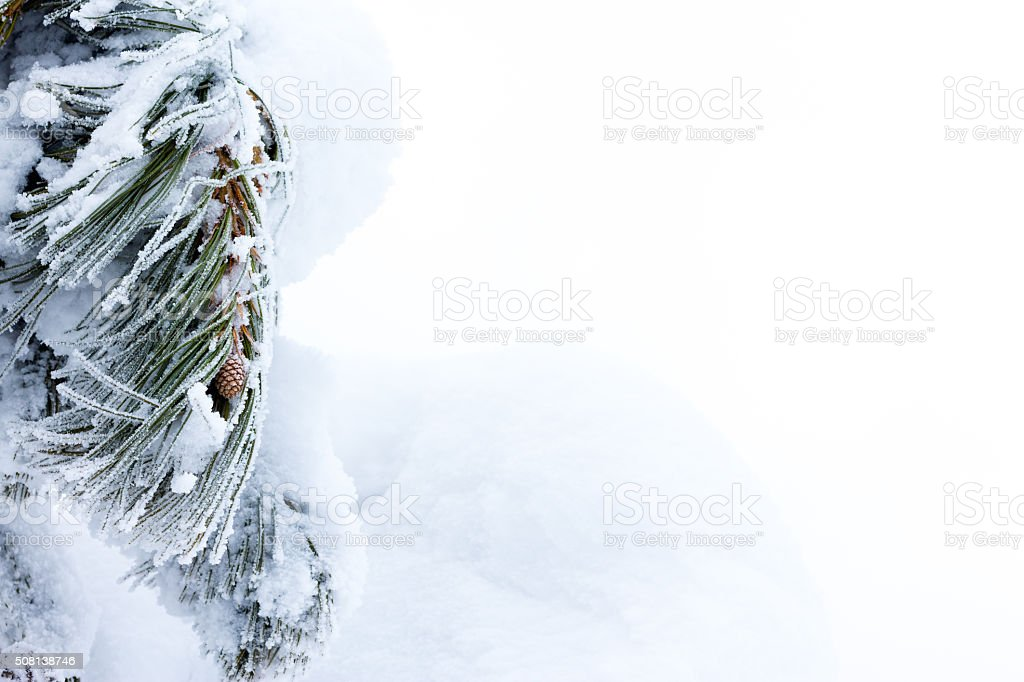 Pine needles covered with snow stock photo