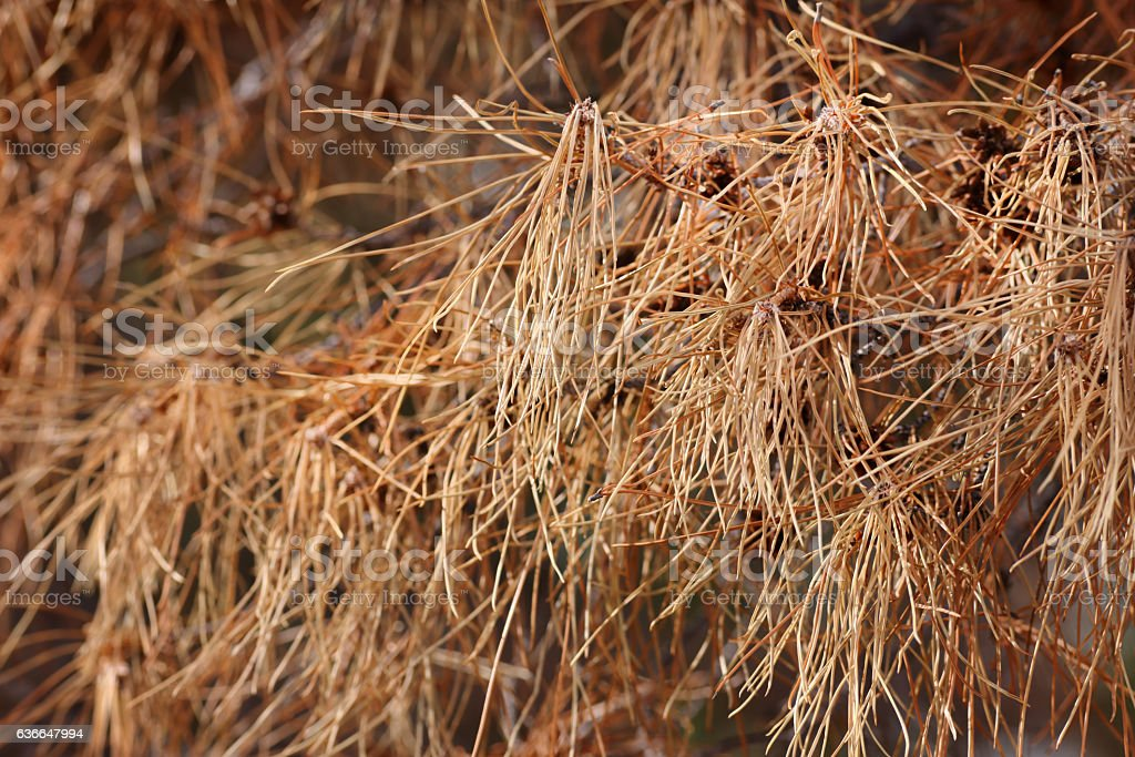 Pine Needles Drying Dead Branches stock photo