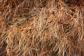 Pine Needles Drying Dead Branches