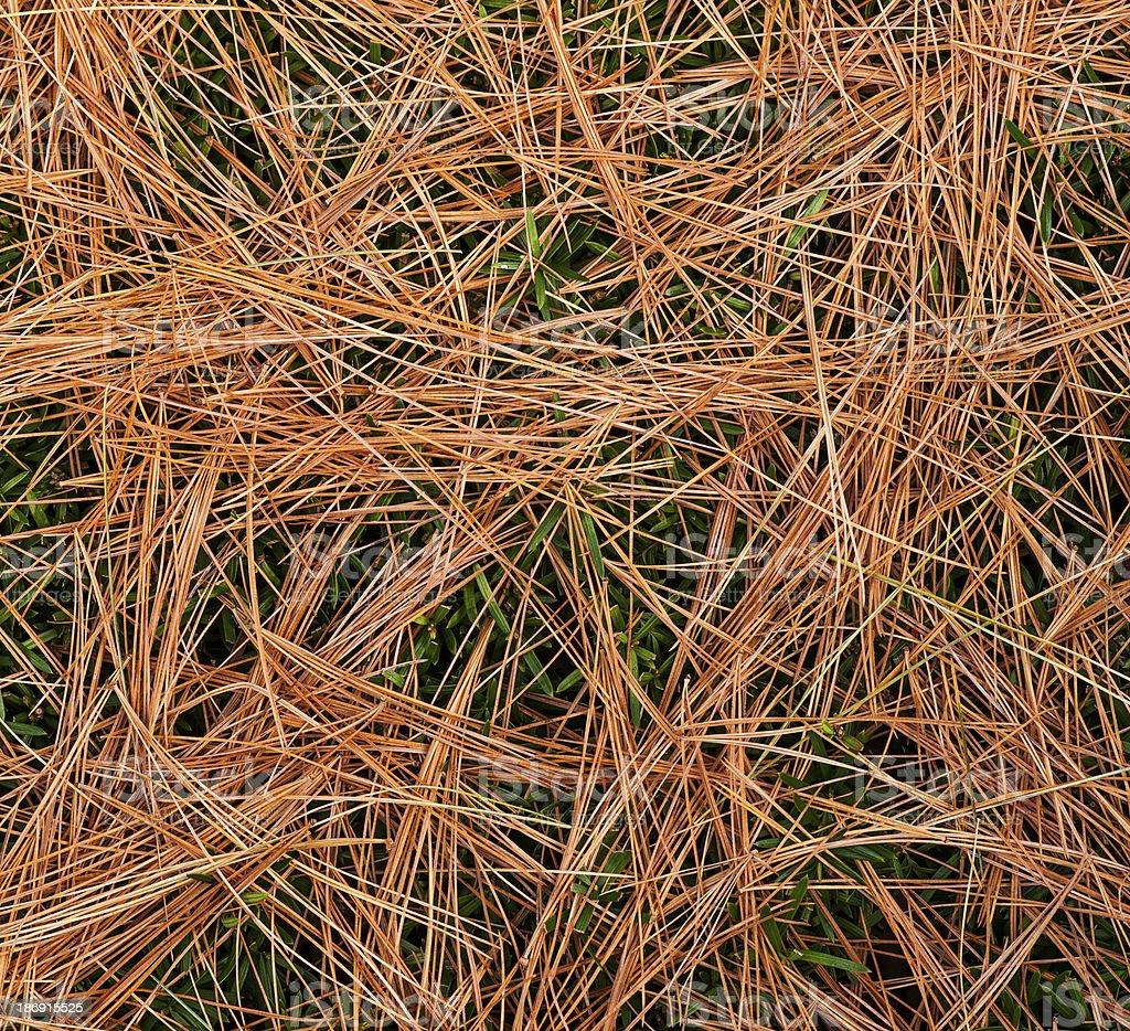 Pine Needles foto royalty-free