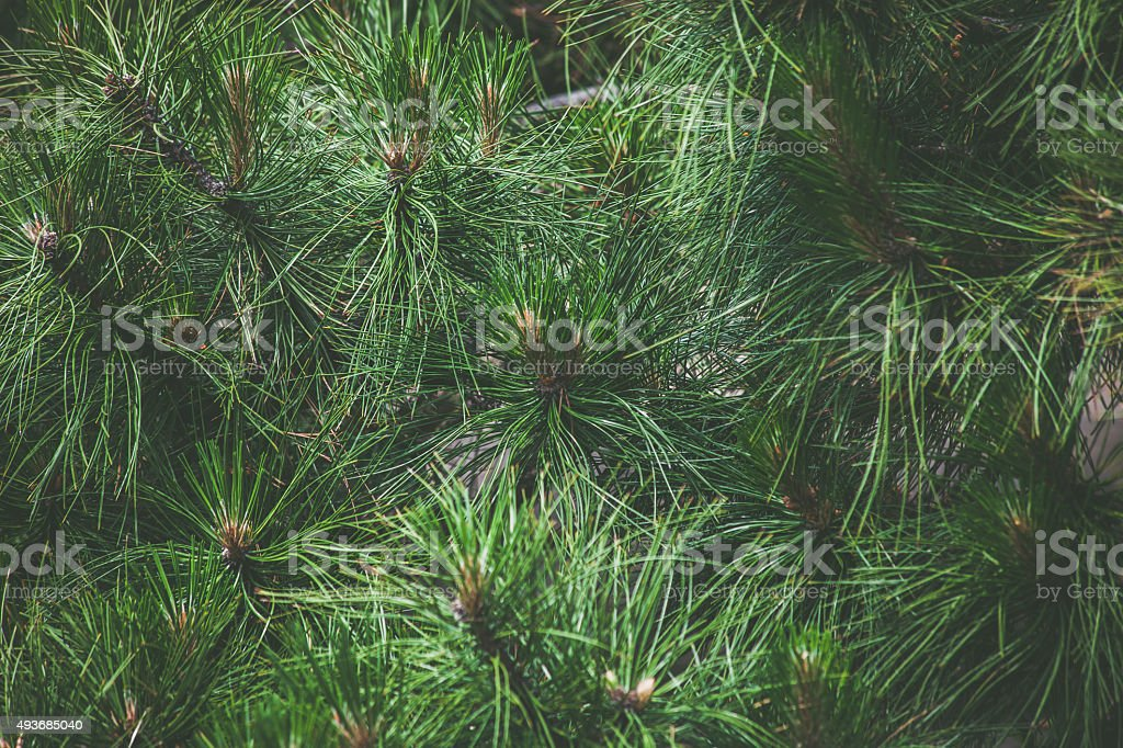 pine needles stock photo