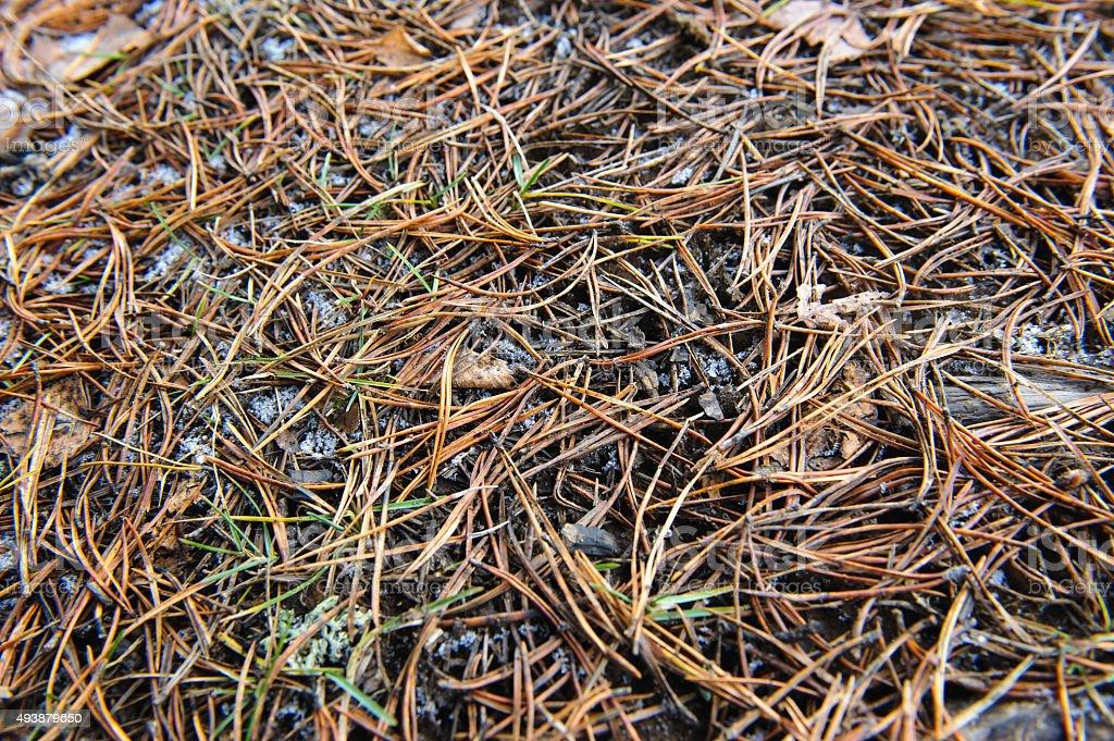 Pine needles. stock photo