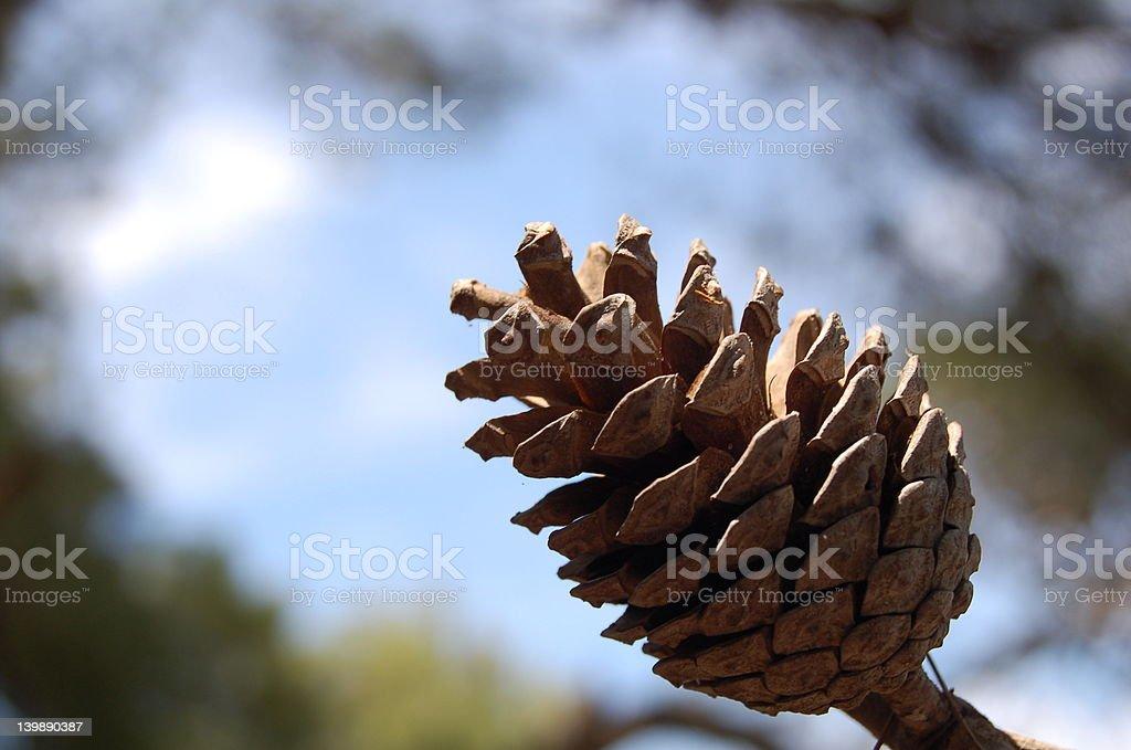 pine nut undet the sun stock photo