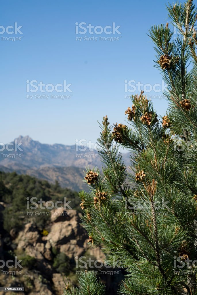 Pine nuts ready for harvest on a mountain Pinyon stock photo
