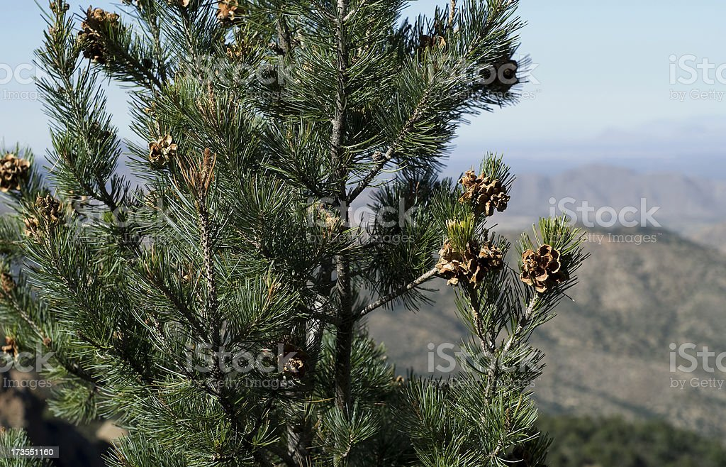 Pine nuts ready for harvest on a Pinyon stock photo