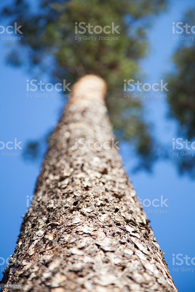 Pine on a background of blue sky. stock photo