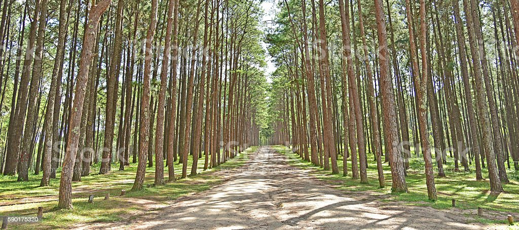 Pine park in Chiang Mai stock photo
