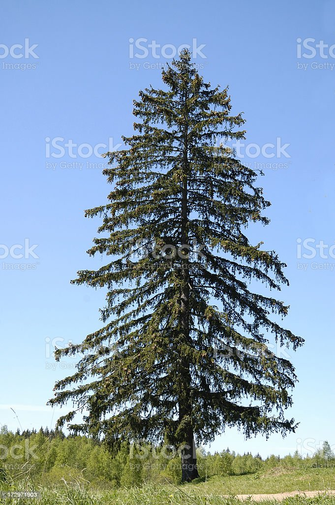 Pine royalty-free stock photo