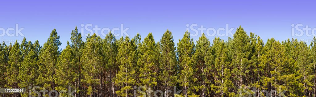 Pine Plantation Panorama XXL - 171 Megapixel stock photo