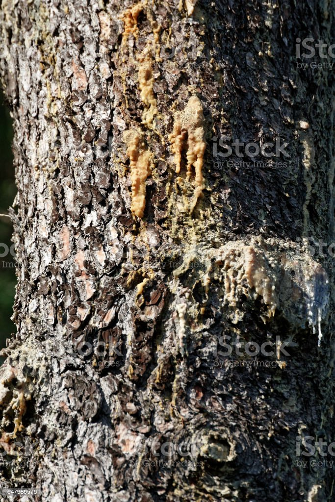 pine resin in a meadow stock photo
