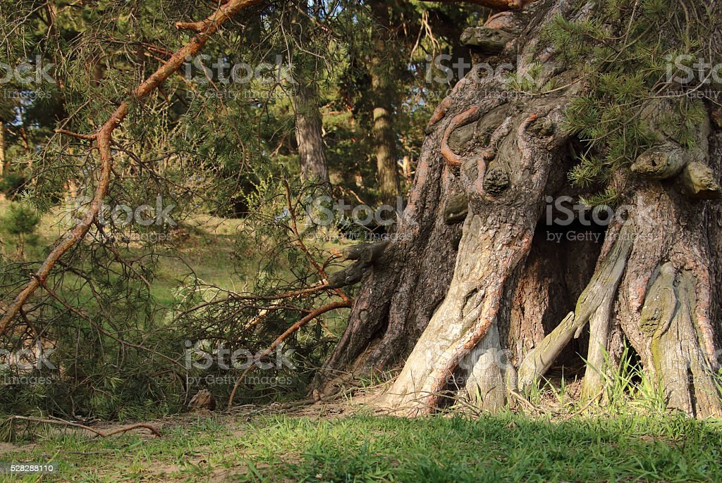 pine root stock photo