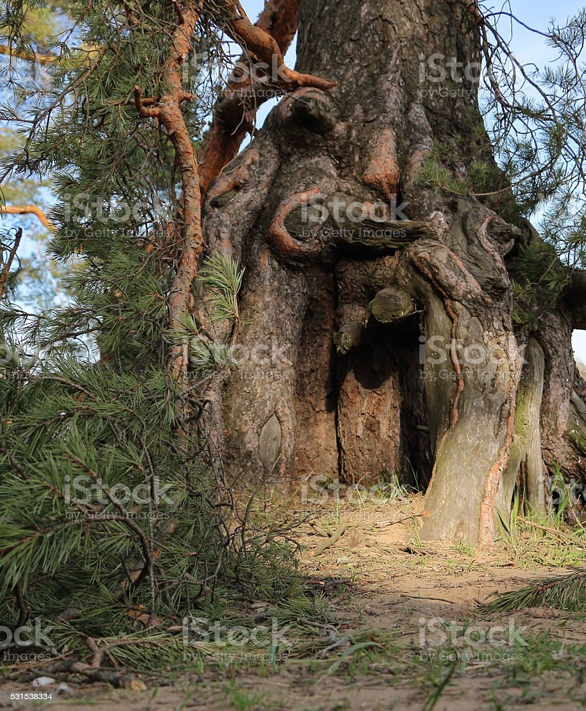 pine root stock photo