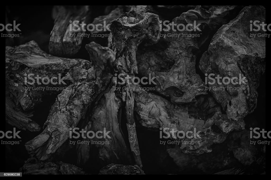 pine roots stock photo