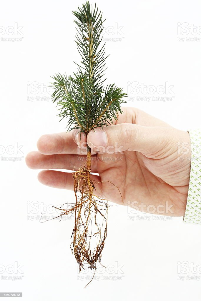 Pine sapling royalty-free stock photo