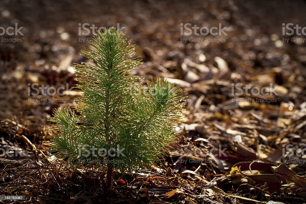 Pine Seedling in Forest stock photo