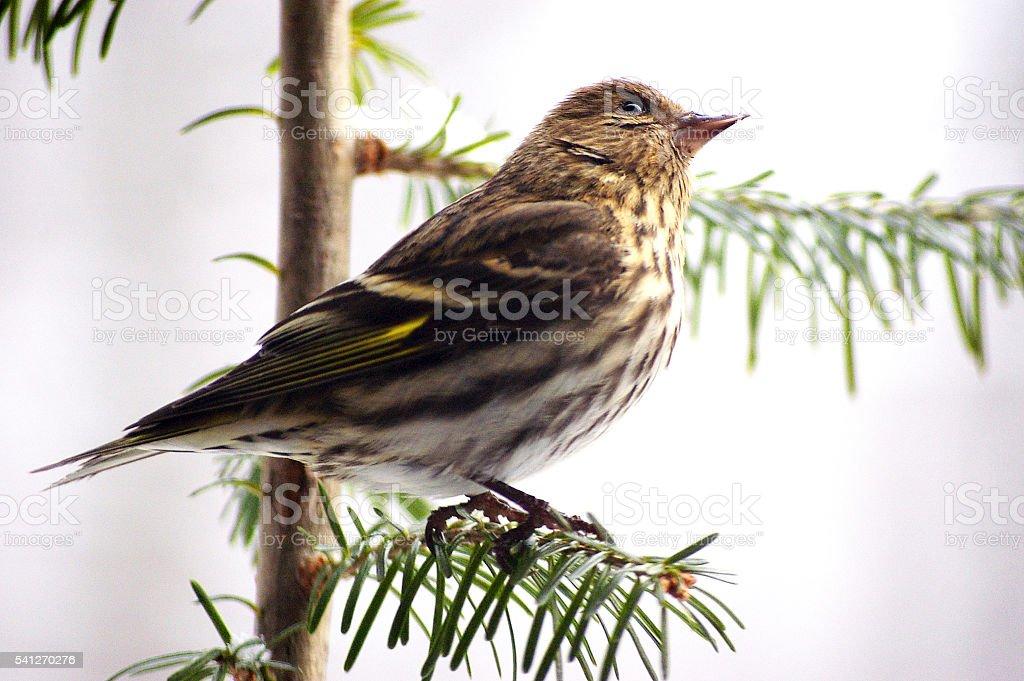 pine siskin carduelis pinus stock photo