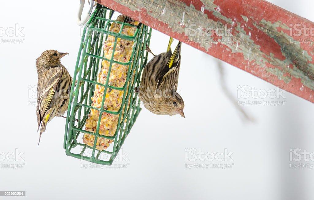 Pine Siskin finch (Carduelis pinus) upside down on suet feeder. stock photo