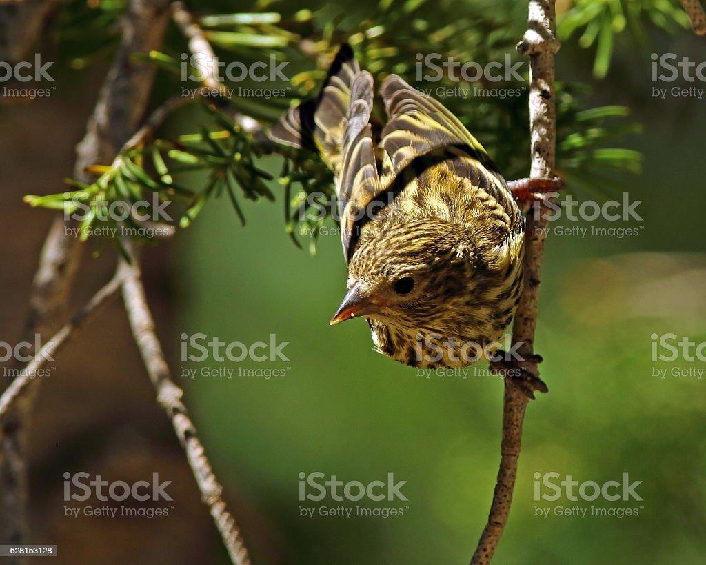 Pine Siskin in Tree stock photo