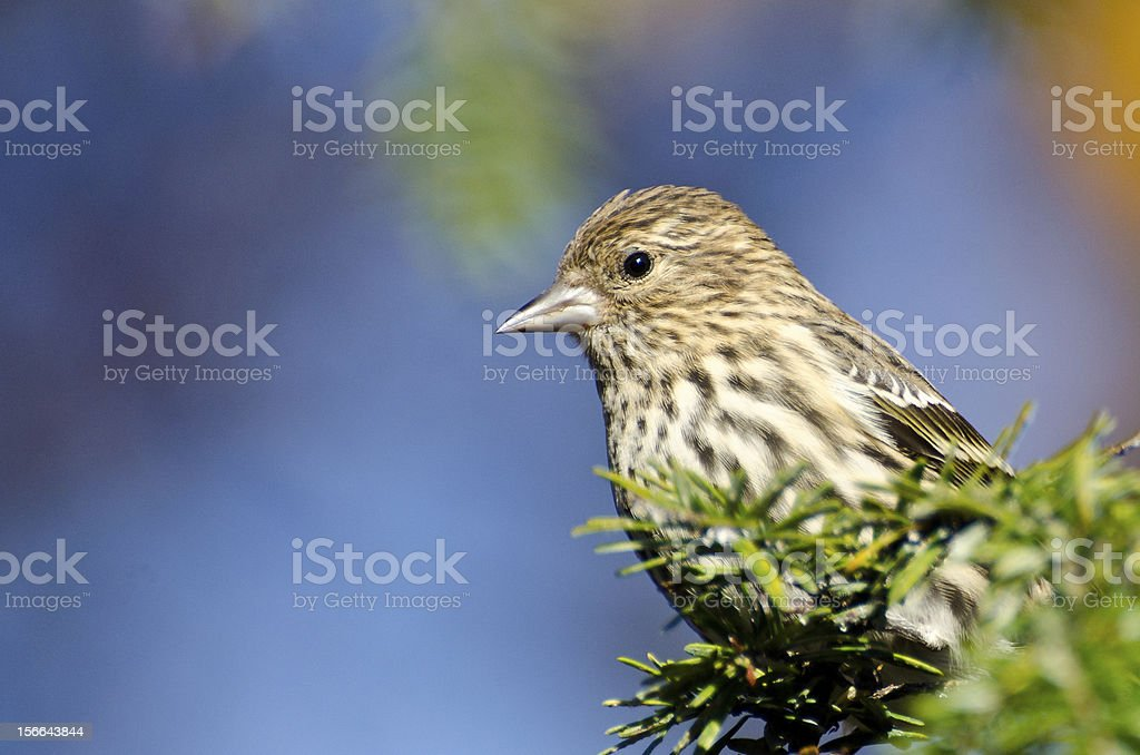 Pine Siskin Perched on Evergreen Tree royalty-free stock photo