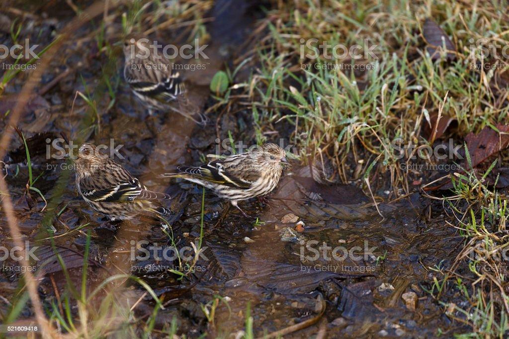 pine siskin stock photo