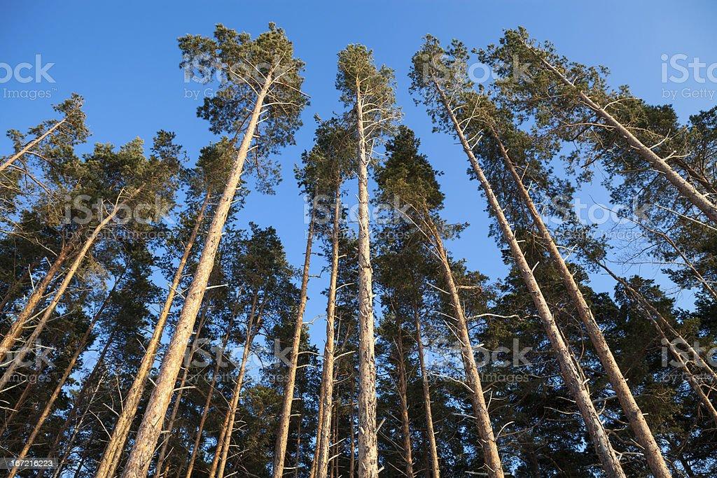 Pine tops royalty-free stock photo