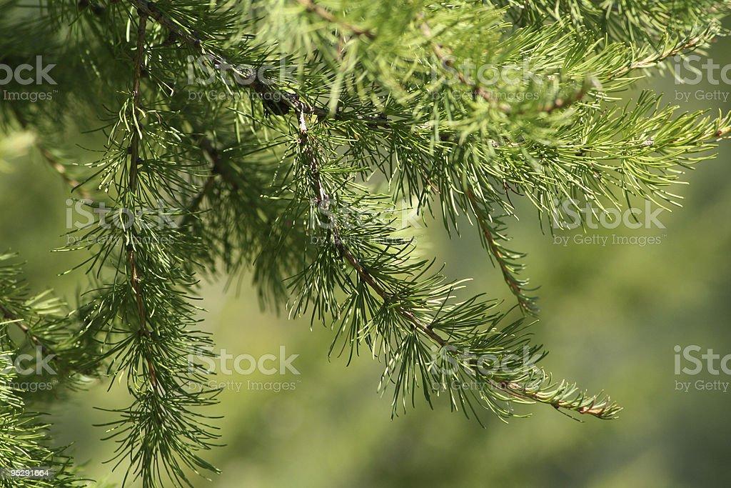 Pine tree 1 royalty-free stock photo