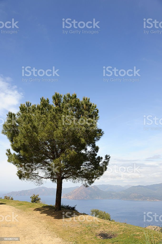 Pine Tree above the Mediterranean Sea, Corsica royalty-free stock photo
