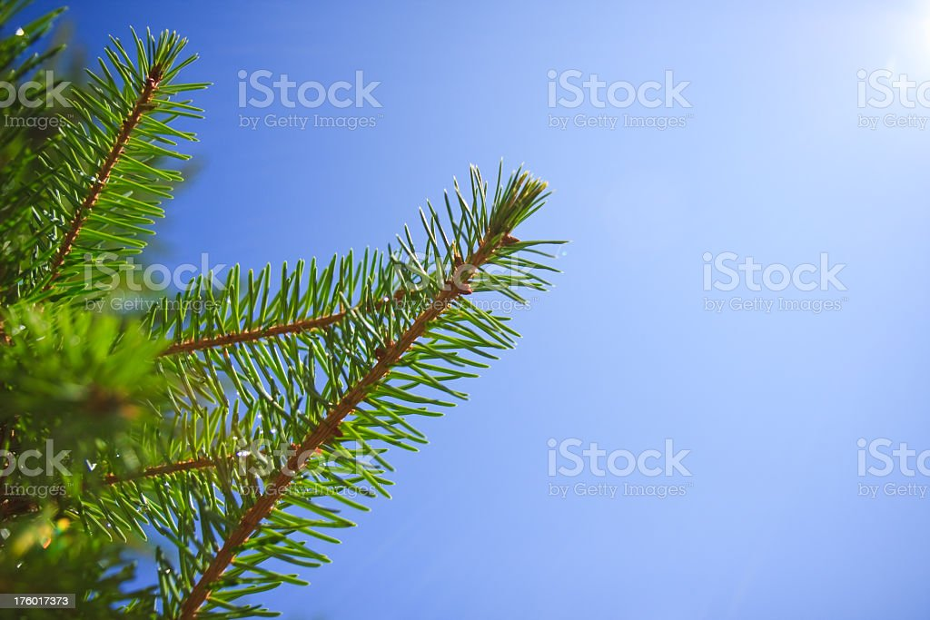 Pine Tree against blue sky royalty-free stock photo