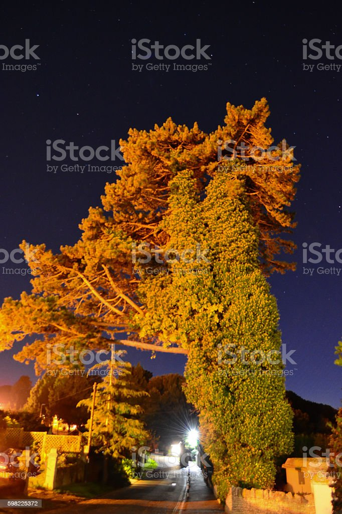 Pine Tree and Ivy at Night stock photo