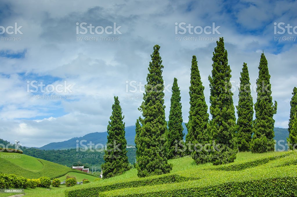 pine tree and landscape stock photo