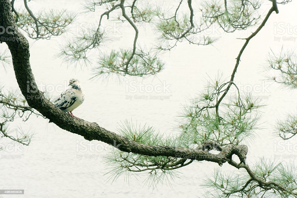 Pine tree and pigeon stock photo